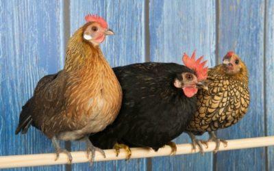 Protéger ses poules grâce au grillage soudé